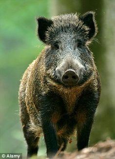 Wild boar in Belgium