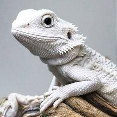 The Lifespan of a Bearded Dragon Depends on Proper Care - Exotic Bearded Dragons Bearded Dragon Food, Bearded Dragon Habitat, Reptiles Et Amphibiens, Cute Reptiles, Amphibians, Bearded Dragon Enclosure, Terrarium Reptile, Terrarium Diy, Rare Albino Animals