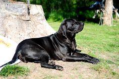 Royal black #brazilian #mastiff, what a gorgeous one!