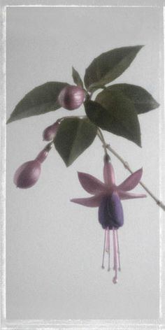 "Flowers In Neutral Moment-2 ""Fuchsia-Angels Earring"" Archival pigment print Photo by Soichi Oshika"