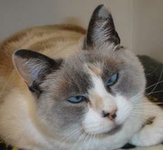 Lovables: #OREGON ~ Bunny is a Spayed 6yo Siamese in need of a loving #adopter at GREENHILL HUMANE SOCIETY 88530 Greenhill Rd  #Eugene OR 97402 information@green-hill.org Ph 541-689-1503