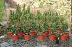 Some of us like to grow marijuana outdoors and have the conditions to do it. For the ones who do, here are some essential tips on how to grow marijuana outdoors