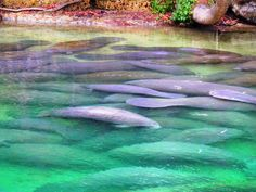 Hundreds of manatees gathered in the Blue Springs Run  Manatees at Blue Spring State Park!   #manatee #floridawinter #statepark #familyfun  www.rmflagstaff.com