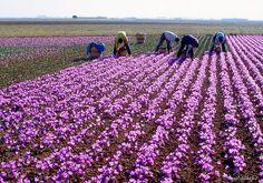 Azafrán. Campos de azafrán en La Mancha.