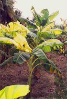 Banana Iron