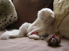 es una raza de gato doméstico. Los turcos de angora son una de las razas más antiguas, originaria de la región de Ankara, en Turquía central.