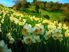 meadow of narcissus Happy Flowers, Flowers Nature, Beautiful Flowers, Buy Flowers, Spring Flowers, Narcissus Flower, Daffodil Flower, Black Tulips, Primroses