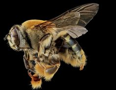 insect-macro-bee-2.jpg (640×501)