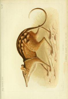 Beiträge zur Keuntniss der Säugethier-Fauua von Ost- und Central-Afrika