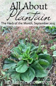 All About Plantain the Herb of the Month for September 2015 This extremely beneficial herb is often right under our noses I love it Permaculture, Medicinal Weeds, Edible Wild Plants, Herbs For Health, Wild Edibles, All Nature, Healing Herbs, Growing Herbs, Gardening Tips