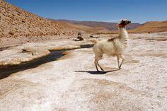 Las lhamitas sempre presentes na região andina.
