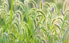 Grass seed heads - Henry Domke.