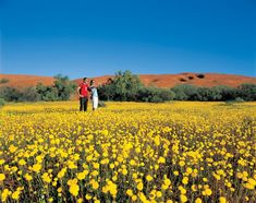 There are more than 12,000 species of wildflowers in WA, making it the world's largest collection of wildflowers. It's a staggering sight to behold, especially when you consider 60% of Western Australian wildflowers are found nowhere else on Earth.