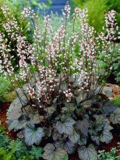 Heucherella Hybride 'Quicksilver' / Kissen-Purpurglöckchen