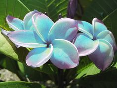 Plumeria cutting Rare Aquarine  Commonly referred to as the lei plant, these wondrous and exotic breeds will bring a variety of unusual color to