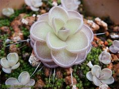 100 Seeds Pale pink witchford seed Lithops Pseudotruncatella seed Lithops Flower…