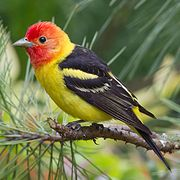 Western Tanager - 5/17/12 - Blue Star Memorial Park, Broomfield