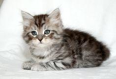 Siberian Cat Kitten   Cattery Mittelmeijer   The Netherlands