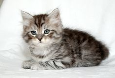 Siberian Cat Kitten | Cattery Mittelmeijer | The Netherlands