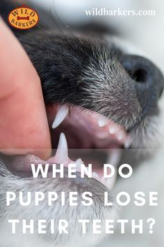 When Do Puppies Lose Their Teeth? Teeth Development and Puppy Teething Baby Puppies, Baby Dogs, Puppy Teething, Teething Stages, Puppy Biting, Dog Teeth, Fur Babies, Lost, Animals