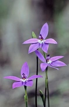 This flower is the cover photo of the Glossvegas community Facebook group and it literally only just clicked in my mind as to why. It's called Glossodia, need some of these beautiful flowers in my garden.