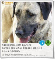 Pamuk ist 2015 geboren und wartet im Tierheim Hanau auf ein neues Zuhause.  Pamuk ist eine Kangalhündin. Entsprechende Rassekenner wären ideal.
