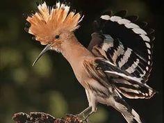 Wiedehopf, Upupa epops - Vögel - NatureGate