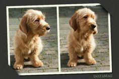 Basset Fauve de Bretagne or Brittany Hound Breed Standard : Dog Supplies Dog Harness, Dog Leash, Professional Dog Training, Dog Training Equipment, Scruffy Dogs, Griffon Dog, Dog Muzzle, Wire Haired Dachshund, Daschund