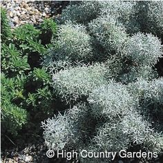 """8"""" x 24"""" wide, (cutting propagated). 'Seafoam' is a textural dream come true with its frothy curled silver foliage. I love to use it as a vigorous groundcover in hot, sunny areas to plant under """"taller perennials"""":/catalog/search/products/taller+perennials/ like """"_Russian Sage_"""":/catalog/search/products/russian+sage/, """"'Moonshine' Yarrow"""":/catalog/product/10045/ and """"'Grosso' Lavender"""":/catalog/product/63152/. 'Seafoam' will occasionally bloom with attractive silver and yellow flower spikes. ..."""