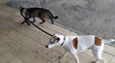 The Best Dog in the World Lets a Cat Take Him for a Walk