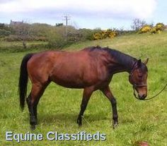 MURDOCH - 16.3H BAY TB 10 YEARS OLD http://www.lardidar.co.uk/Horse/163h-bay-tb-10-years-old-listing-183.aspx#.Ukab0FOAUfQ