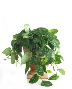 A wide variety of philodendrons are suited to indoor culture. All are tropical and need ample moisture and high humidity. This handsome vine requires bright light to preserve its silver spots and looks best in a hanging basket or a tall pot.