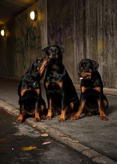 Rottweilers are not bad dogs only bad when they are trained to be or abused one day I will have a house full of Rottweilers to prove it.
