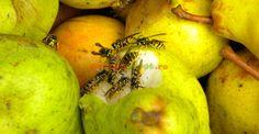 Cum împiedicăm viespile să vandalizeze via și livada Vegetables, Fruit, Garden, Plant, Garten, Lawn And Garden, Vegetable Recipes, Gardens, Gardening