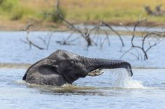 11 Ways Elephants Are The Most Amazing Creatures On The Planet