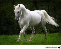 Fotografía: Hermoso caballo tordillo - El Mundo del Caballo - Caballos, razas de caballos, fotografías y videos de caballos