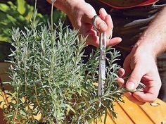 Stecklinge von Lavendel selber züchten – Schritt 2 von 7