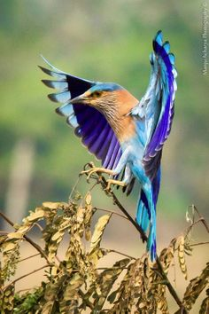 The wings of color landing. Indian Roller (Coracias benghalensis)