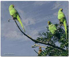 Parrots!! birds
