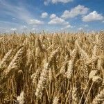 The EU Commission has asked US authorities to confirm whether GM wheat found on an Oregon farm could have been exported to Europe.