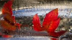 Red leaves inside an icestatue. First try with ice and stuff.