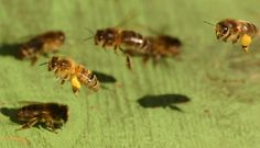 Honeybee02 - Honey bee - Wikipedia, the free encyclopedia