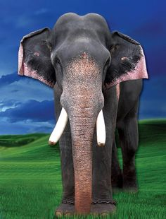 big poster design Elephant Images, Elephant Pictures, Asian Elephant, Elephant Love, Elephant Art, Elephant Photography, Nature Photography, Indian Women Painting, Kerala Travel