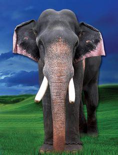 big poster design Elephant Images, Asian Elephant, Elephant Love, Elephant Art, Elephant Trekking, Elephant Photography, Elephants Photos, Elephant Sculpture, Giraffes