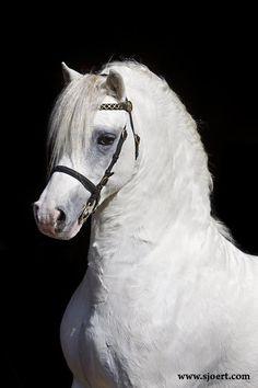 Heniarth Quinnell, a Welsh Mountain Pony, by Sjoert