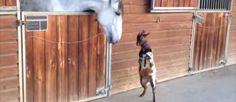 Certamente nunca tinhas visto uma cabra a dançar, mas oqueacontece quandose juntanum celeiro com estecavaloé bastante bonito e fofo. :)   TopaIsto