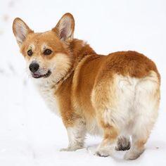 #доброе утро #corgiumka #corgi #corgination #corgigram_ #corgilove #corgistagram #corgicommunityrus #corgicommunity #dog #dogstagram #dog_features #doggy #mydog