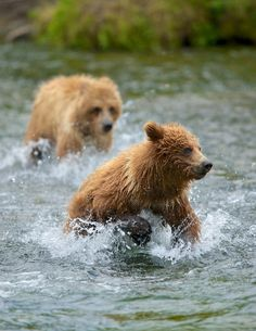 "Escape The Chase!! by Buck Shreck on 500px bv ""Here are two cubs play chasing each other, practicing for the real thing later in life, when they might have to escape from another aggressive bear. …."""