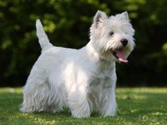 The temperament of the West Highland White Terrier can vary greatly, with some being friendly towards kids whilst other people prefer solitude. West Highland Terrier, West Terrier, Skye Terrier, Highlands Terrier, Cairn Terrier, Border Terrier, Terrier Dogs, Yorkshire Terrier, Terriers