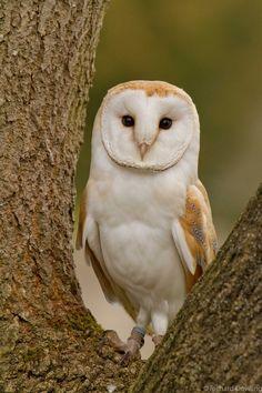 Barn Owl by Richard Dowling on 500px
